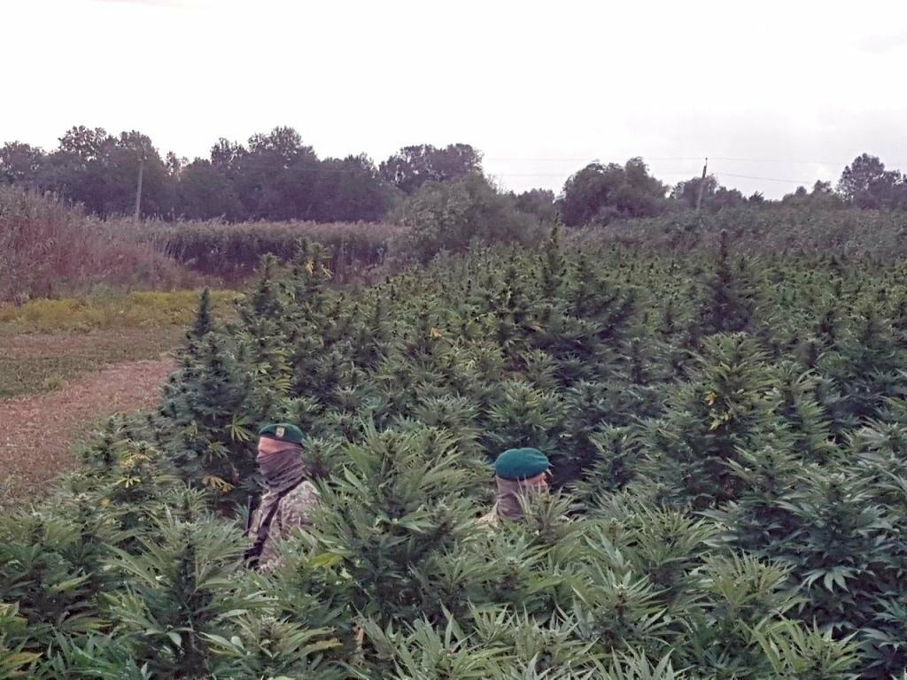 В Одесской области правоохронители обнаружили плантации конопли (фото+видео), фото-5