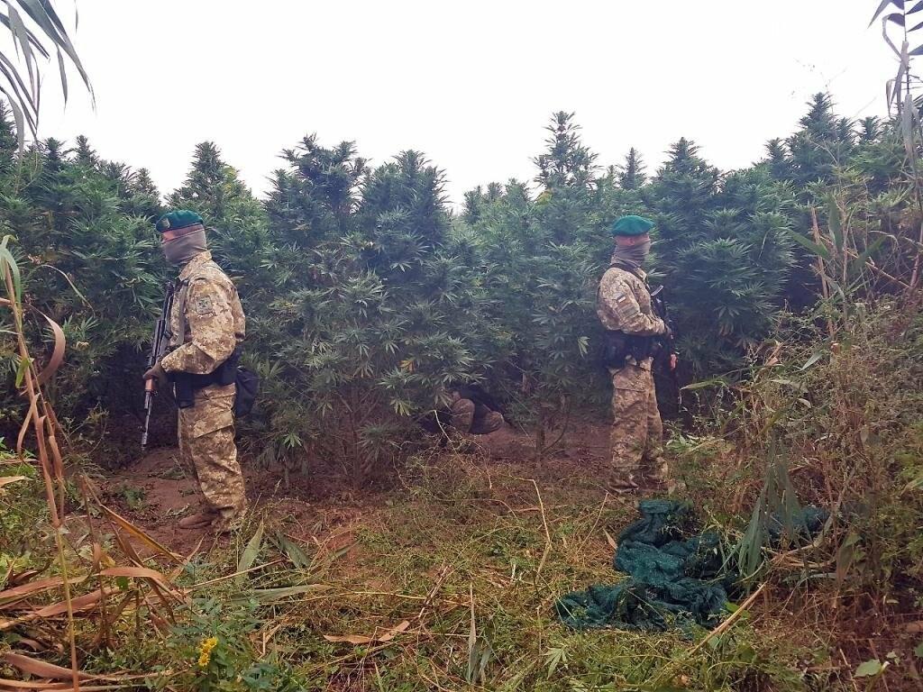 В Одесской области правоохронители обнаружили плантации конопли (фото+видео), фото-1