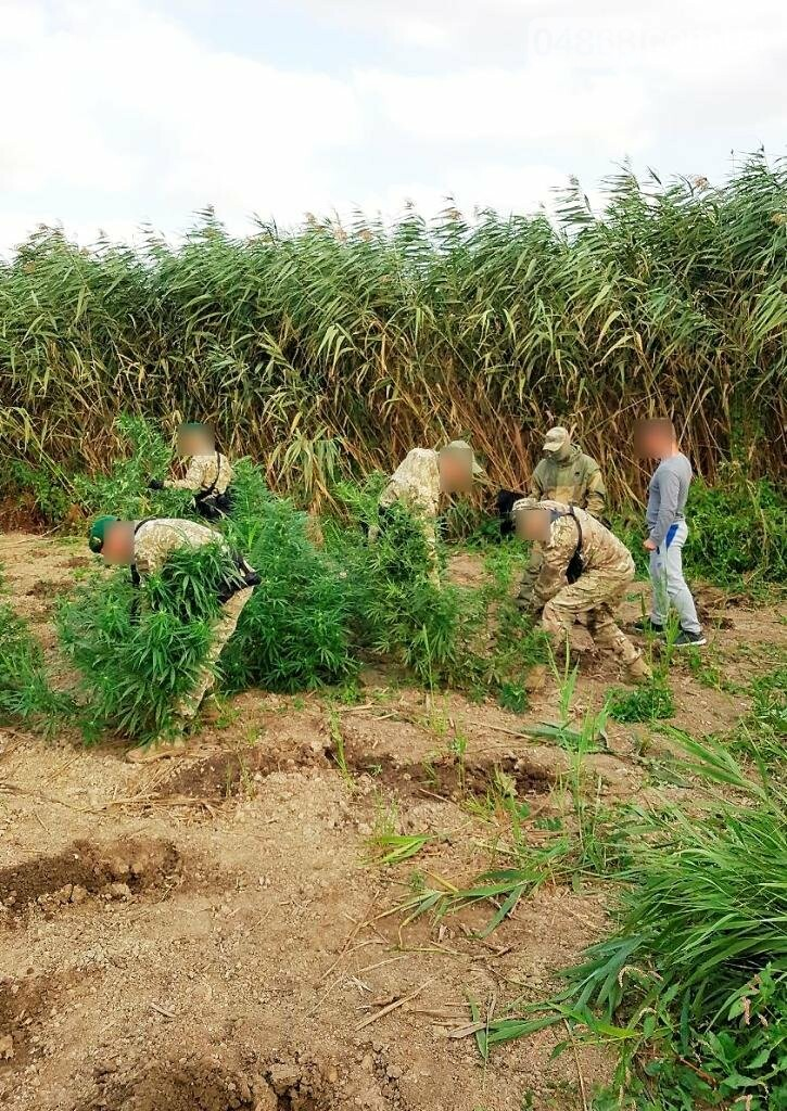 В Одесской области правоохронители обнаружили плантации конопли (фото+видео), фото-2