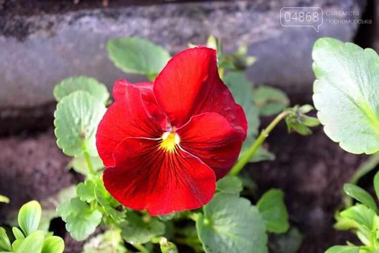Весне дорогу: первые цветы заполнили клумбы Черноморска, фото-7