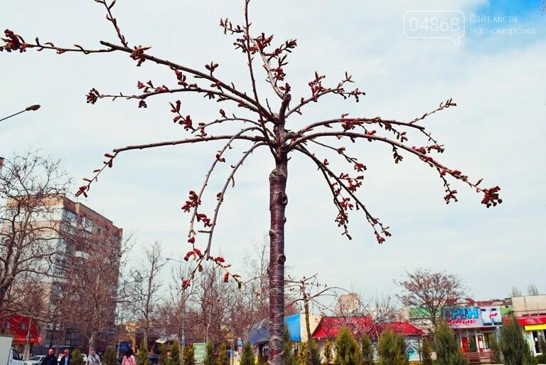 В Черноморске вот-вот расцветут молоденькие сакуры, фото-2