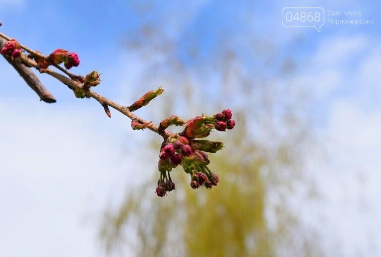 В Черноморске вот-вот расцветут молоденькие сакуры, фото-5