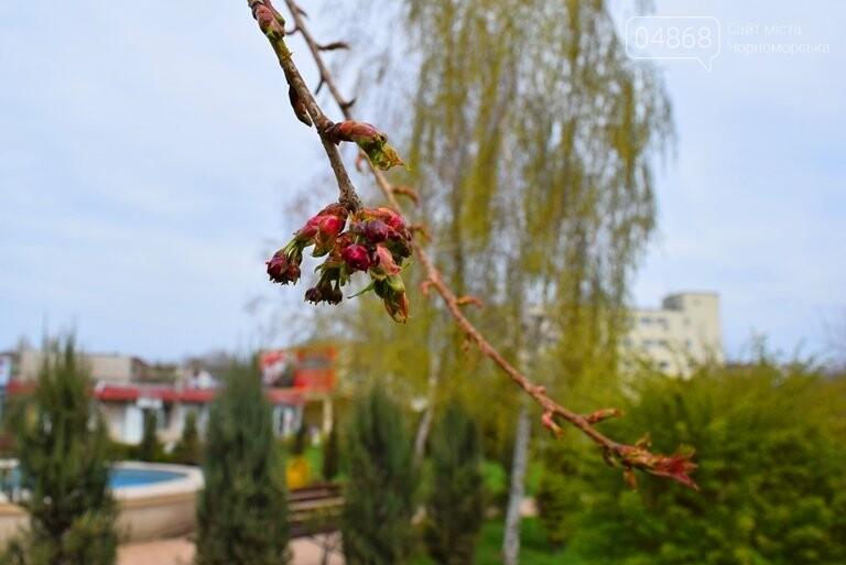 В Черноморске вот-вот расцветут молоденькие сакуры, фото-3