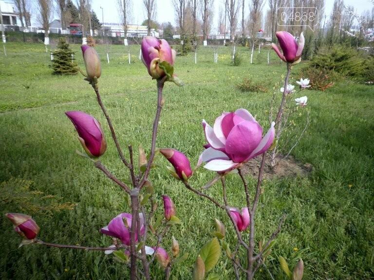 В Черноморск привезли вторую магнолию, фото-5