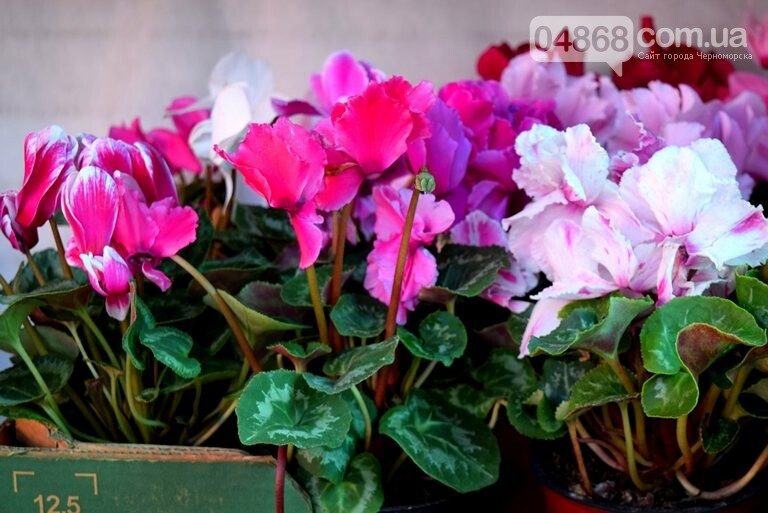 Как сделать двор у дома красивым: мониторинг весенних цен на цветы в Черноморске, фото-13