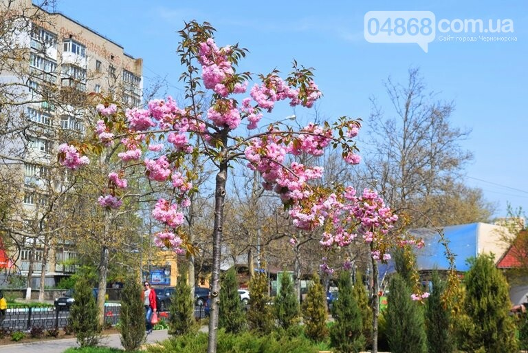 В Черноморске расцвела сакура , фото-2