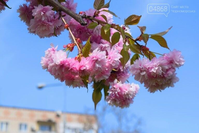 В Черноморске расцвела сакура , фото-1