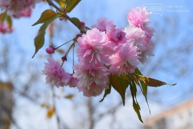 В Черноморске расцвела сакура , фото-5