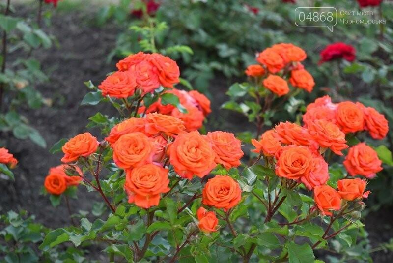 Черноморск – город роз (фоторепортаж), фото-5
