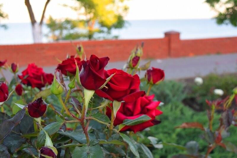 Черноморск – город роз (фоторепортаж), фото-15