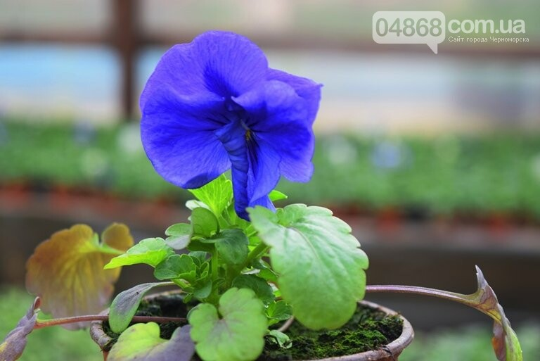 В теплицах черноморского «Зеленхоза» бушует весна , фото-11
