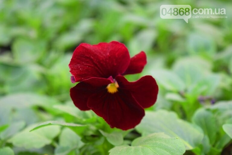 В теплицах черноморского «Зеленхоза» бушует весна , фото-3
