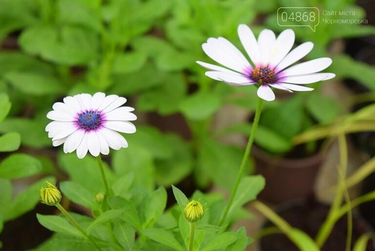 В теплицах черноморского «Зеленхоза» бушует весна , фото-19