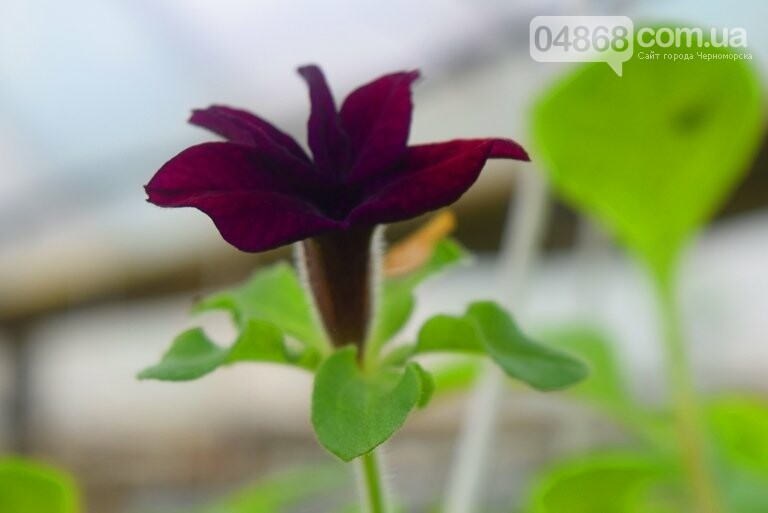 В теплицах черноморского «Зеленхоза» бушует весна , фото-23