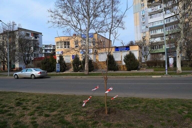 В Черноморске появится более 100 красавиц-катальп, фото-6