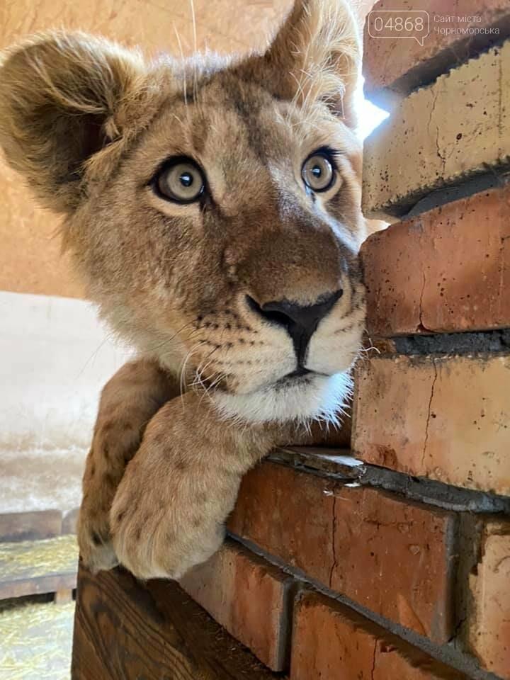 Знаменитый львёнок из одесского ночного клуба поедет домой в Африку , фото-1
