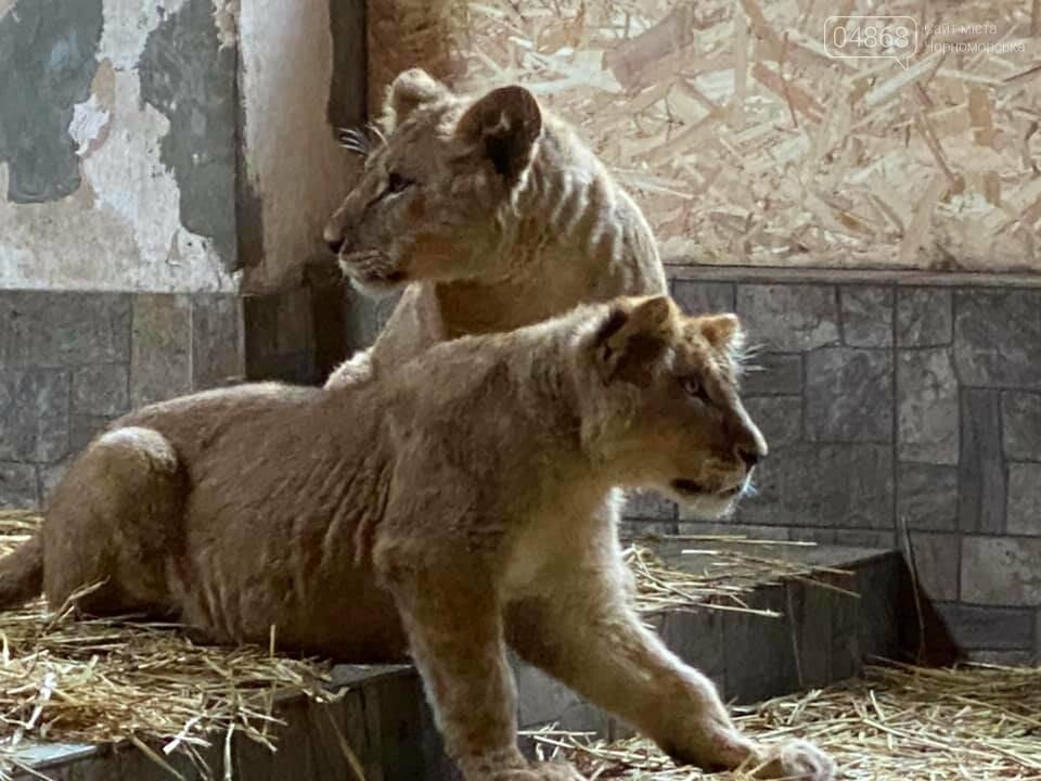 Знаменитый львёнок из одесского ночного клуба поедет домой в Африку , фото-8
