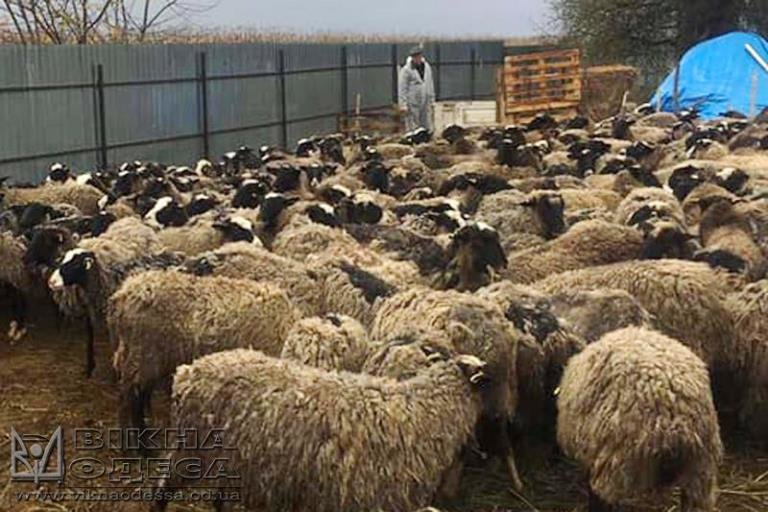 Печальный конец истории овец, задержанных в МТП «Черноморск», фото-4