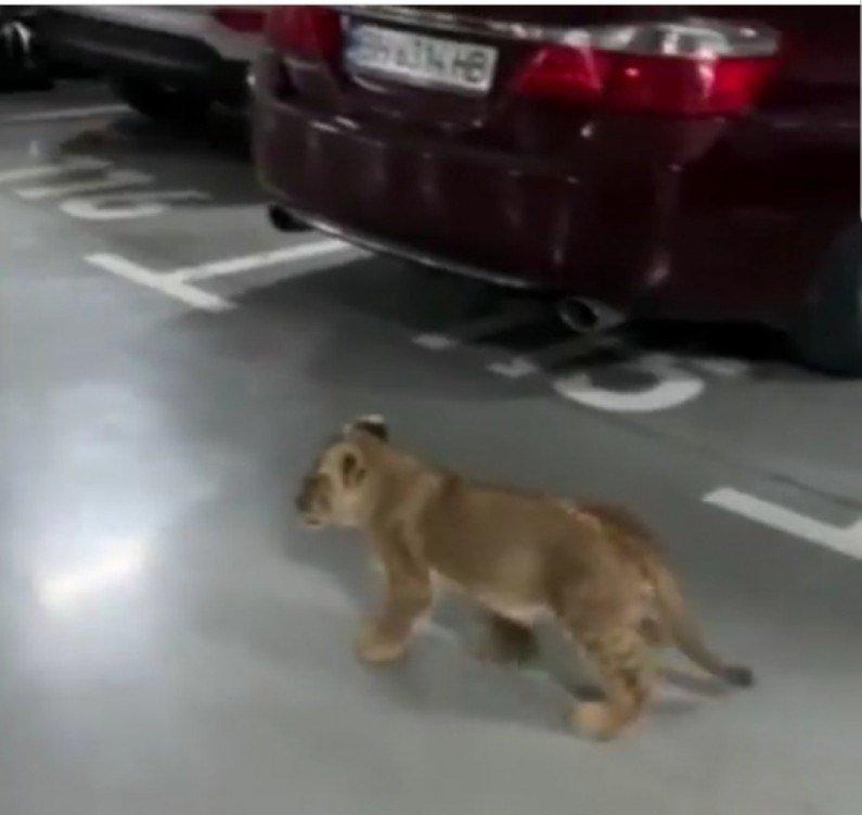 По Аркадии гулял одинокий львенок (фото, видео), фото-1