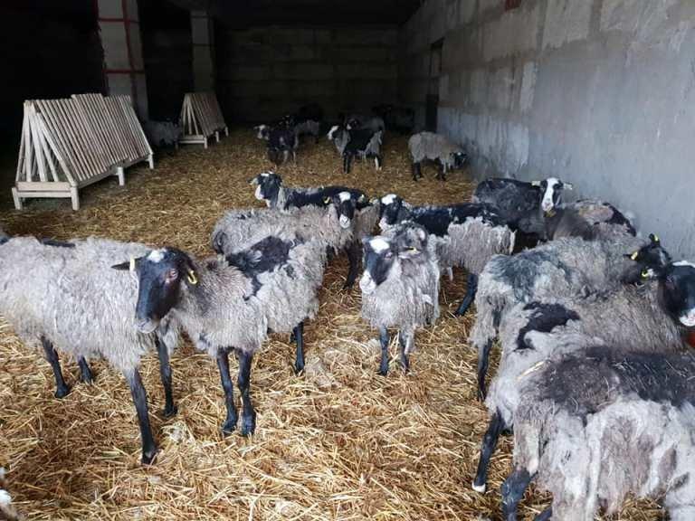 Спасенные в Черноморске овцы получили новый дом под Одессой, фото-4