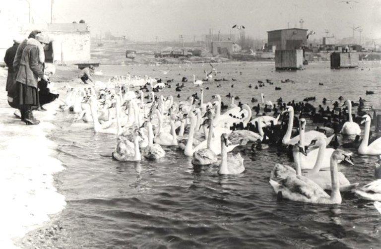 На переправе Одесса – Черноморск появились первые лебеди, фото-3
