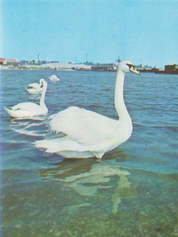 На переправе Одесса – Черноморск появились первые лебеди, фото-2