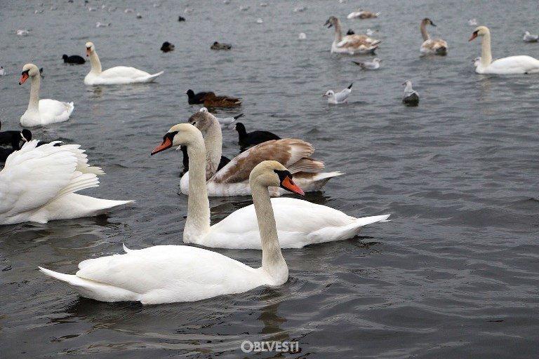 На переправе Одесса – Черноморск появились первые лебеди, фото-7
