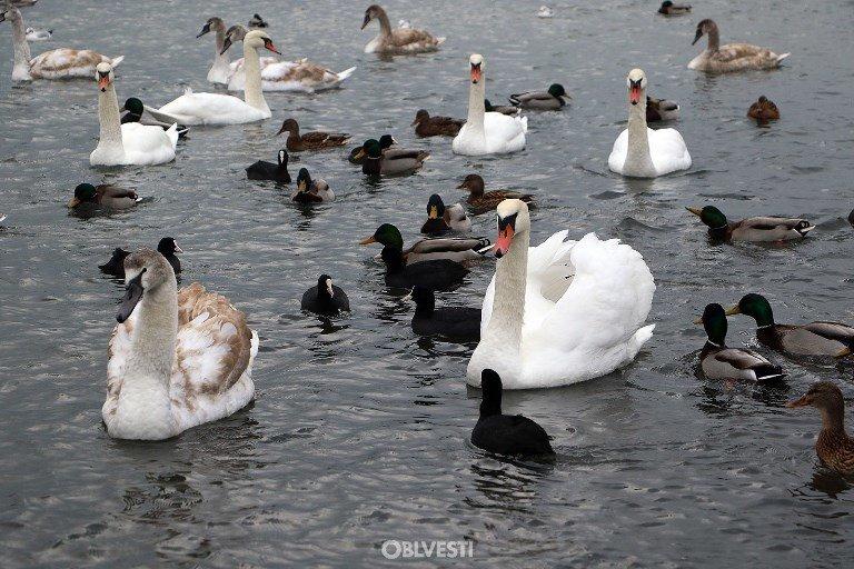 На переправе Одесса – Черноморск появились первые лебеди, фото-6