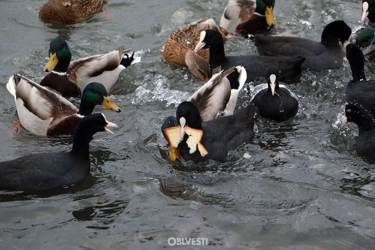 На переправе Одесса – Черноморск появились первые лебеди, фото-4