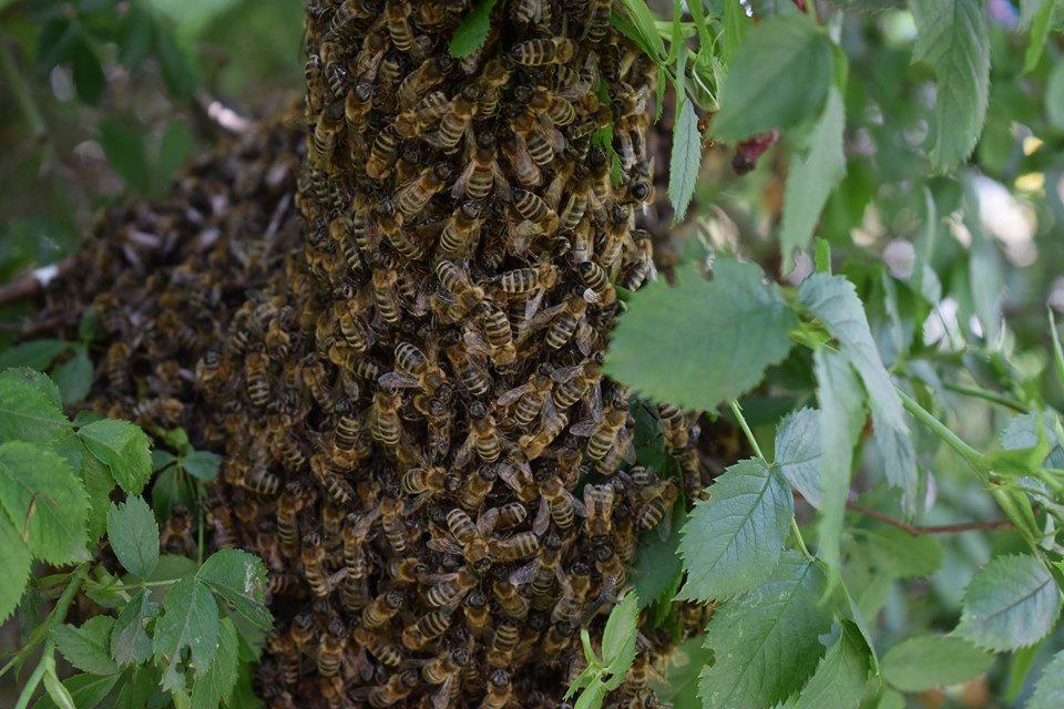 В Черноморске вблизи школы обнаружен рой пчел, фото-4